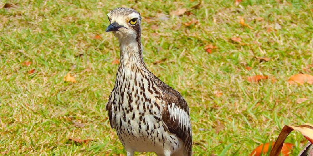 curlew-bird magnetic island